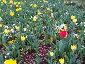 RedTulip3 300x225 - Be A Red Tulip